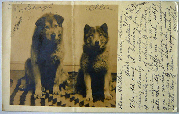 For sale: real photo postcard of two dogs in Nome,               Alaska, in 1906.