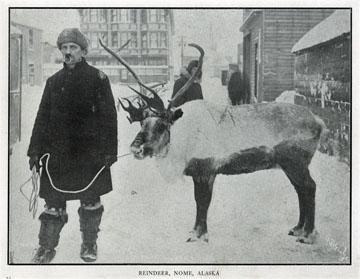 "Reindeer, Nome, Alaska. For sale: original view book               ""Souvenir of North Western Alaska"" by O.D.               Goetz."