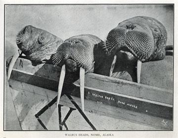"Walrus heads, Nome, Alaska. For sale: original view               book ""Souvenir of North Western Alaska"" by O.D.               Goetz."