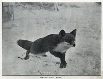 """Red fox, Nome, Alaska. For sale: original view book               """"Souvenir of North Western Alaska"""" by O.D.               Goetz."""