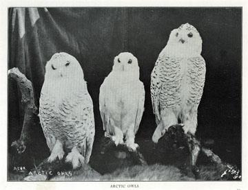 "Arctic owls [snowy owls]. For sale: original view               book ""Souvenir of North Western Alaska"" by O.D.               Goetz."